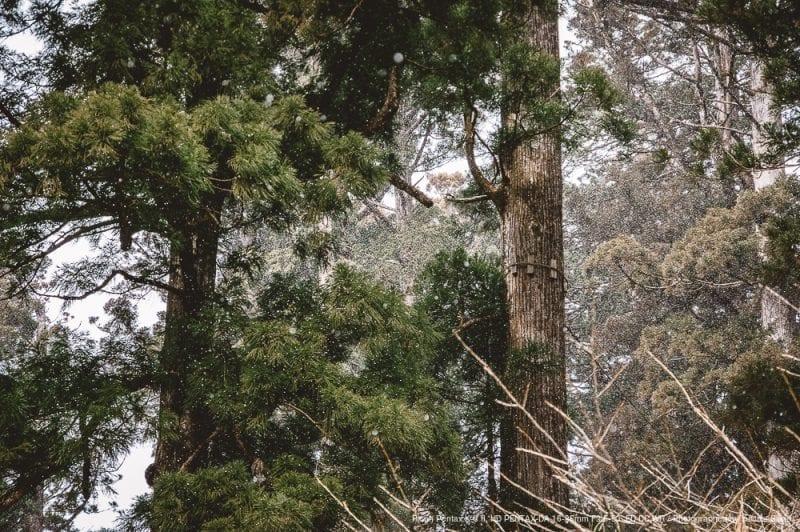 杉と雪の写真