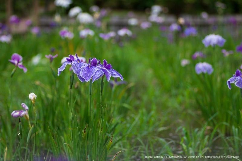 菖蒲の花(F2.8)