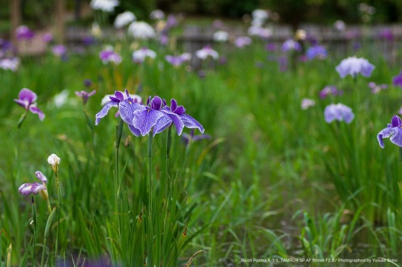 菖蒲の花(F4)