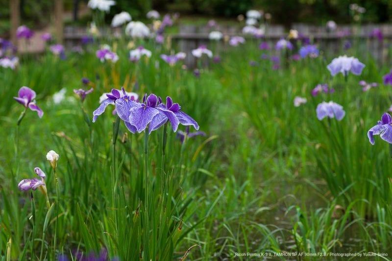 菖蒲の花(F5.6)