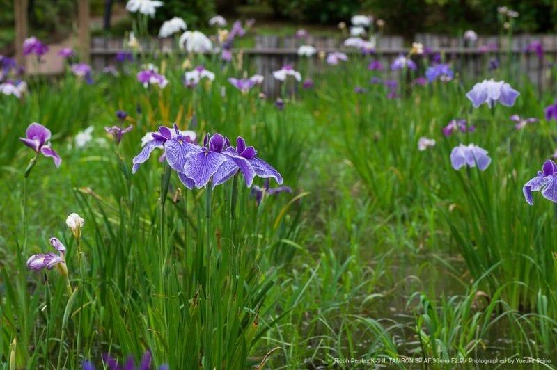 菖蒲の花(F8)