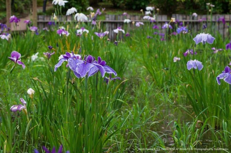 菖蒲の花(F11)