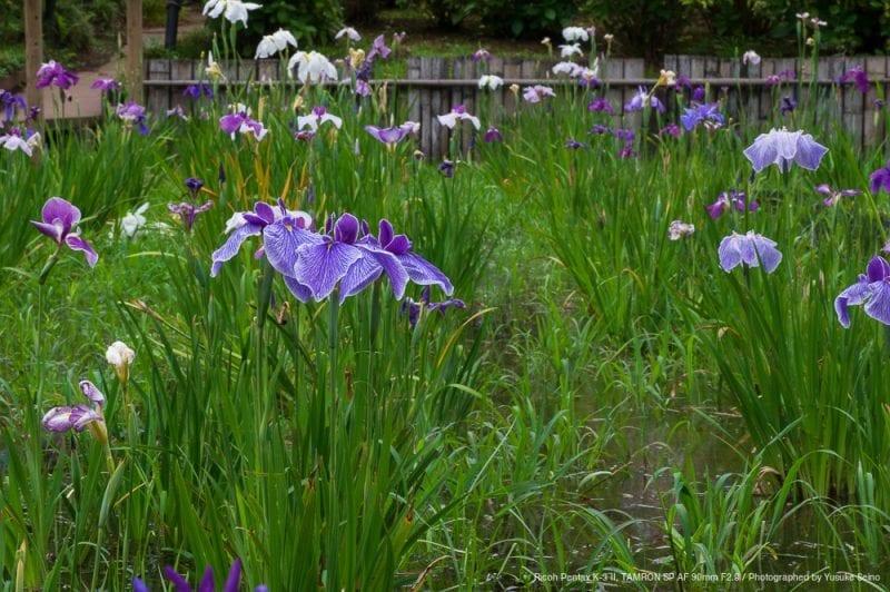 菖蒲の花(F22)